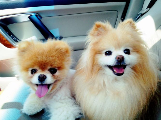 animals dogs pets pomeranian Boo wallpaper