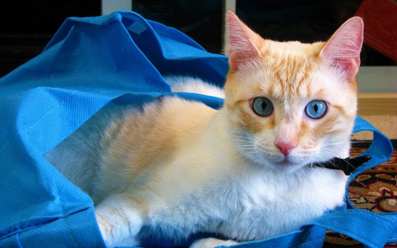 cats blue eyes animals bags wallpaper