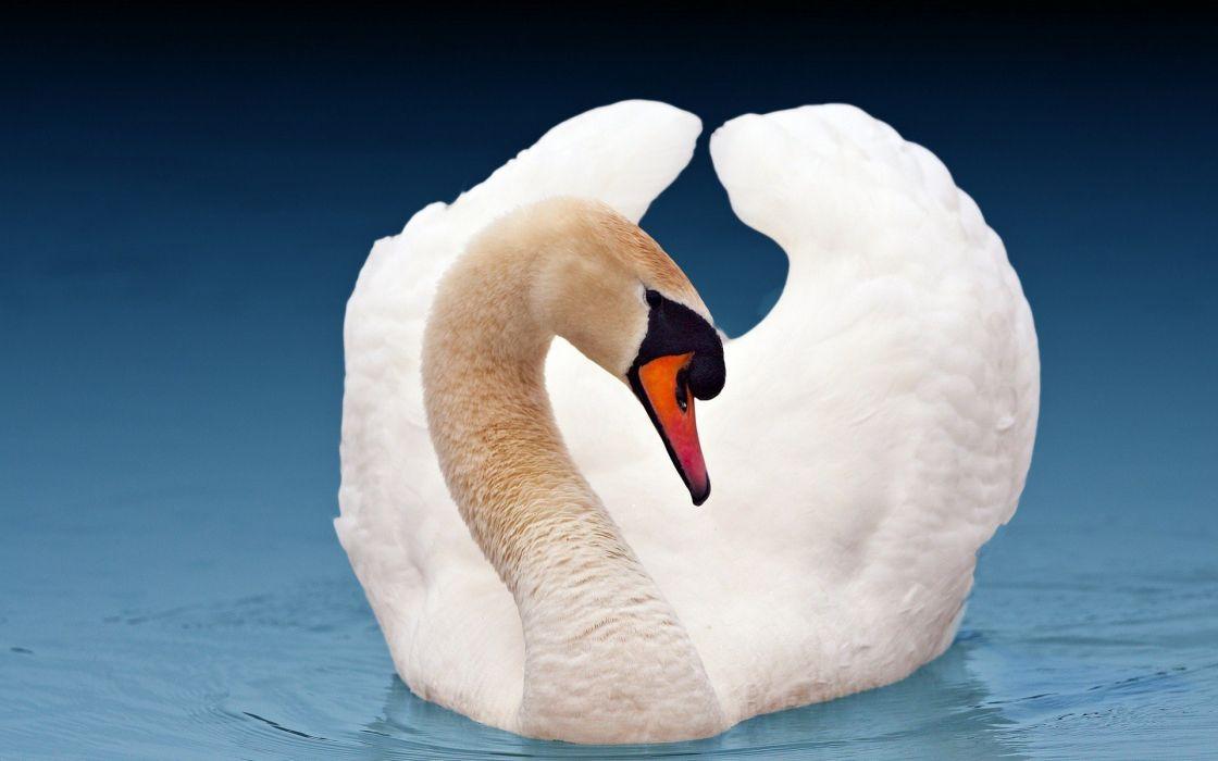 water blue birds animals swans lakes wallpaper