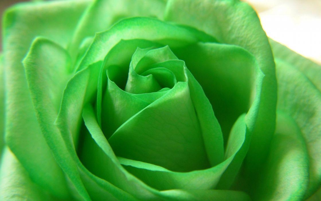green flowers roses wallpaper