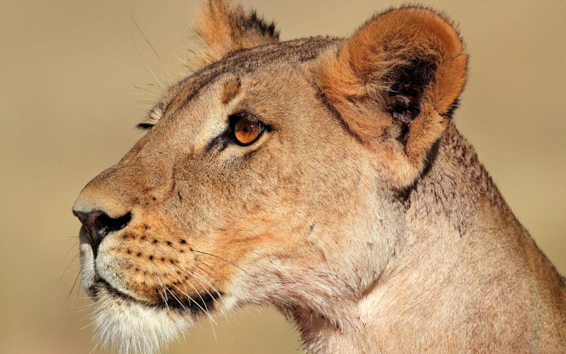 animals feline lions wallpaper