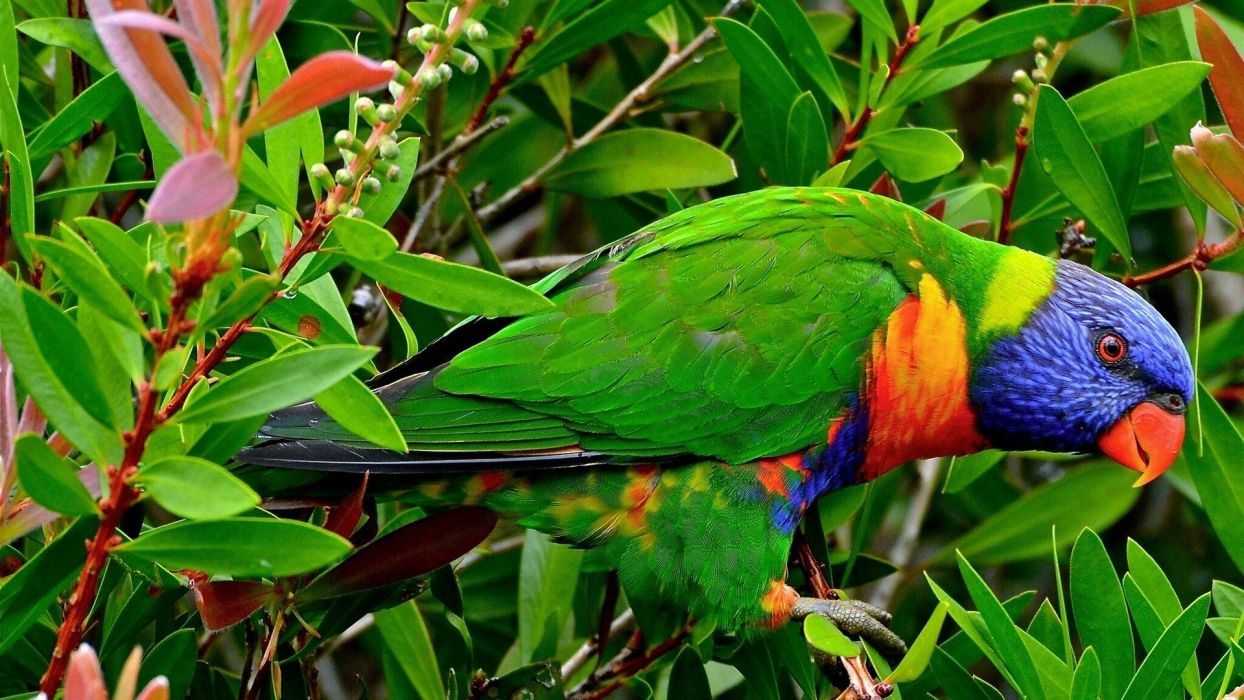 multicolor birds animals tropical parrots rainbow lorikeet wallpaper