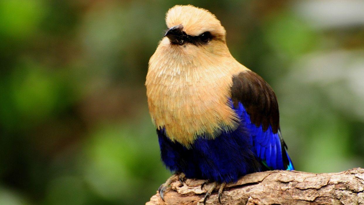 birds Blue-bellied Roller wallpaper