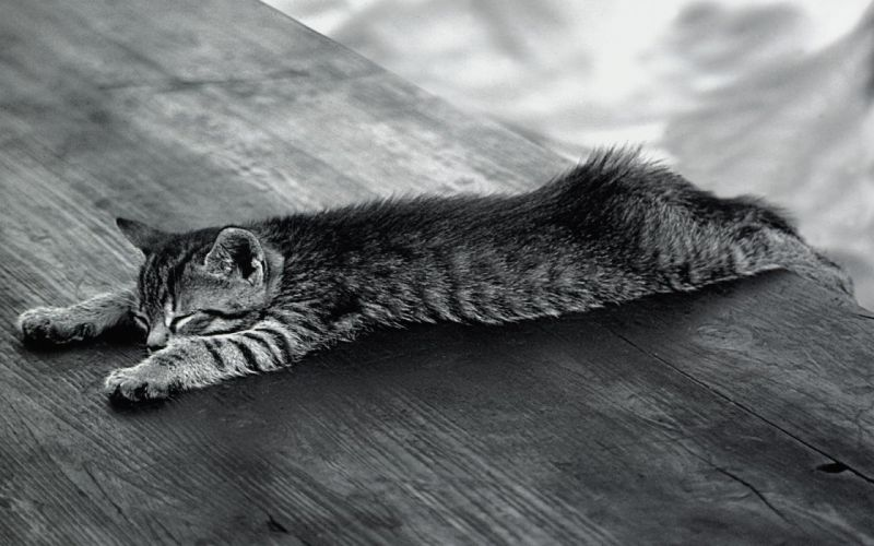 cats animals monochrome wallpaper