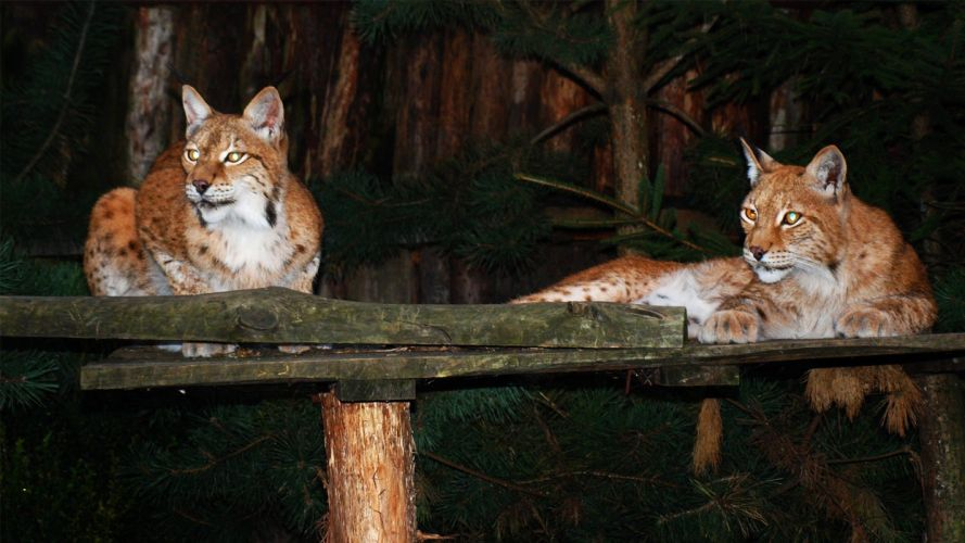 nature cats animals lynx feline zoo ttic24 wallpaper