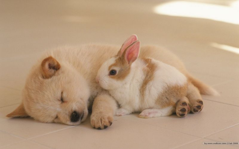 bunnies animals dogs puppies rabbits canine sleeping closed eyes wallpaper