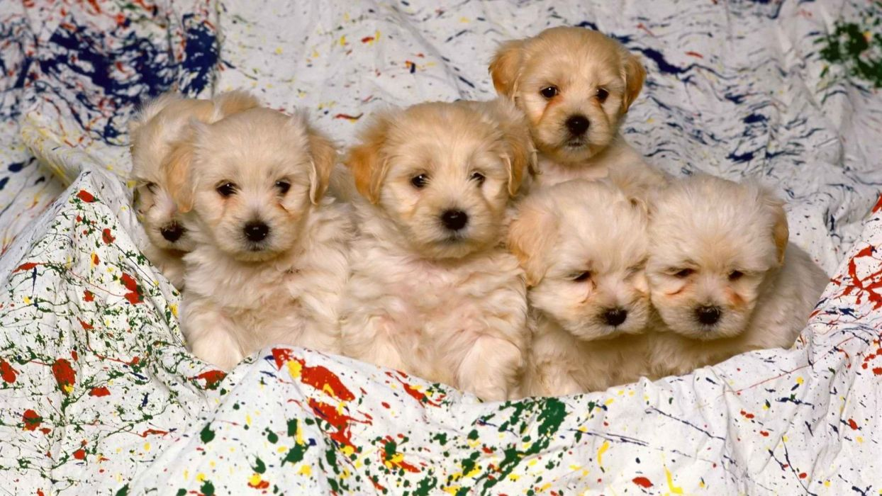 white animals puppies breed wallpaper