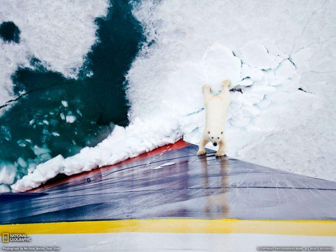 nature animals National Geographic polar bears wallpaper