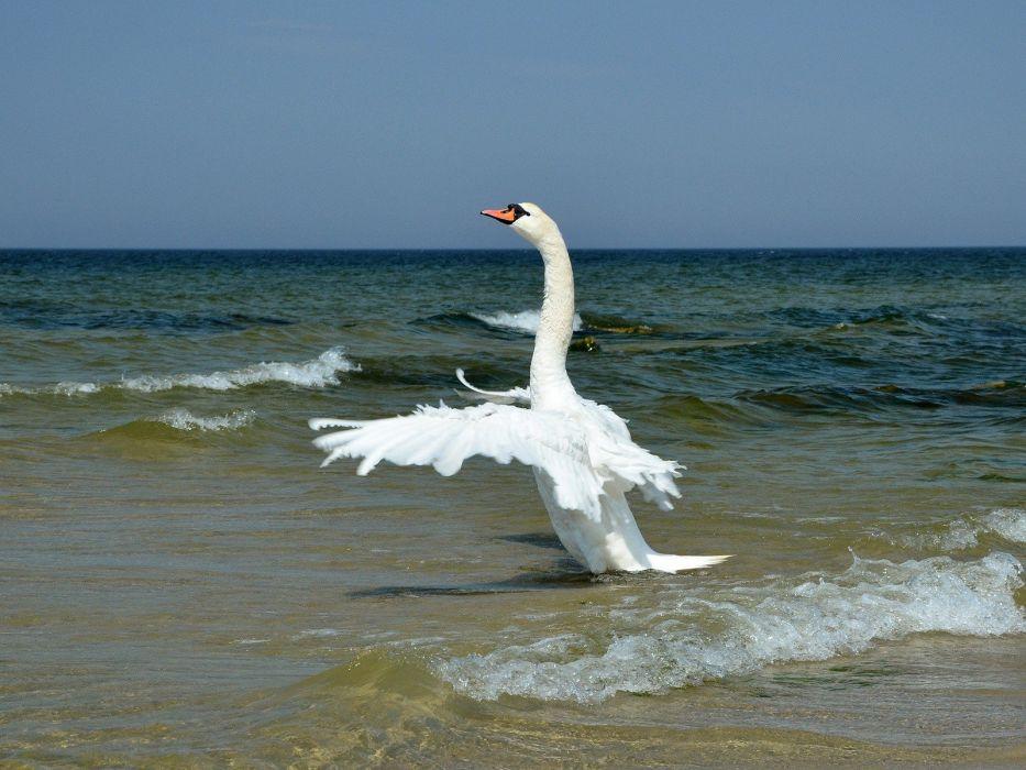 swans sea wallpaper