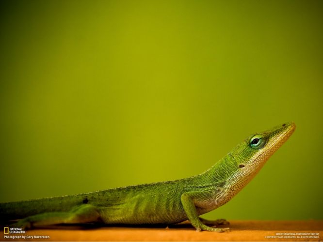 lizards wallpaper