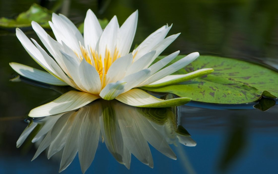 water nature flowers macro lily pads water lilies wallpaper