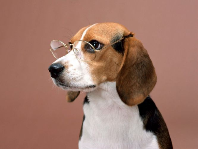 animals dogs glasses beagle wallpaper