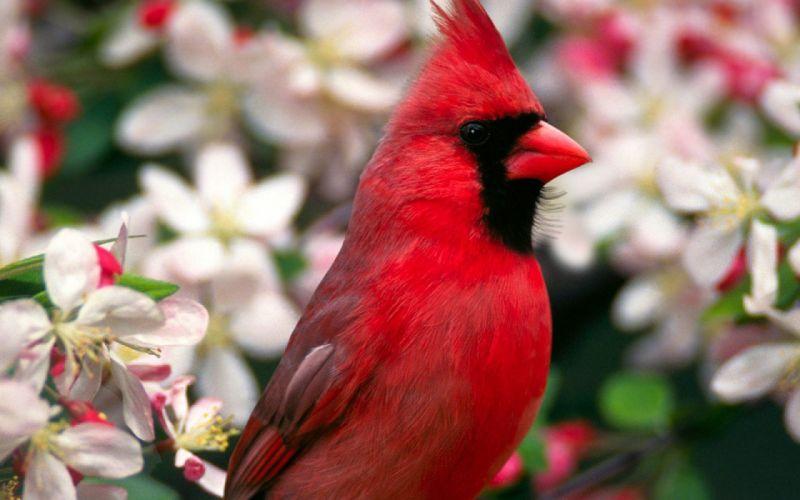 close-up flowers birds cardinal Northern Cardinal blurred background wallpaper