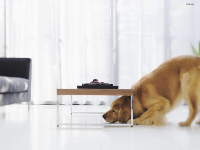design dogs interior golden retriever wallpaper