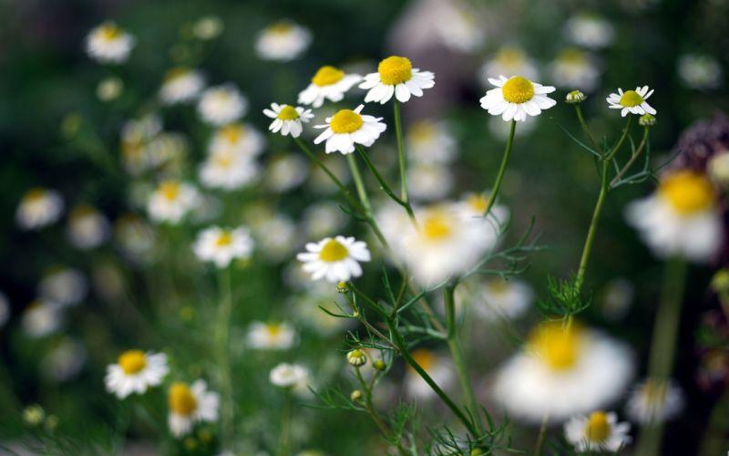 nature flowers chamomile wallpaper