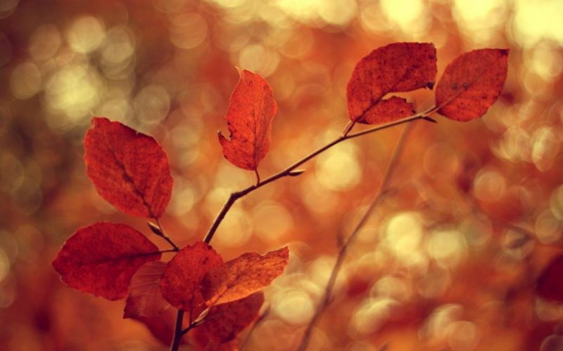 nature autumn leaves macro depth of field wallpaper