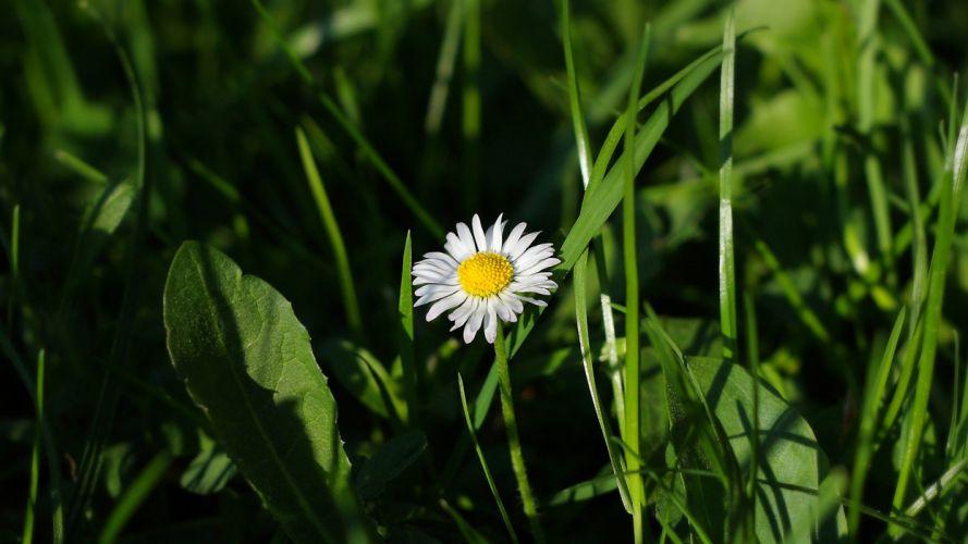 green flowers grass meadows daisy wallpaper