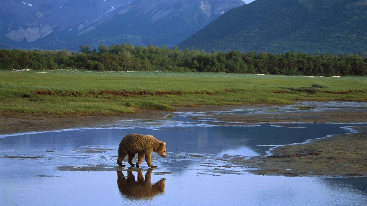 Alaska crossing grizzly bears National Park wallpaper