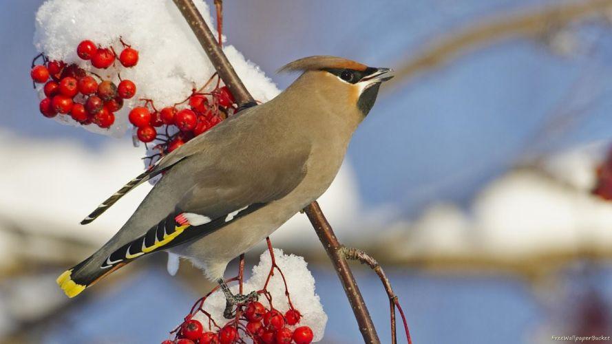 snow birds berries waxwing wallpaper