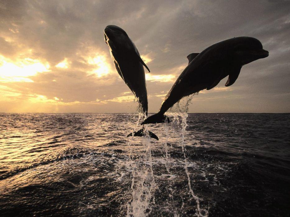 jumping dolphins sea wallpaper