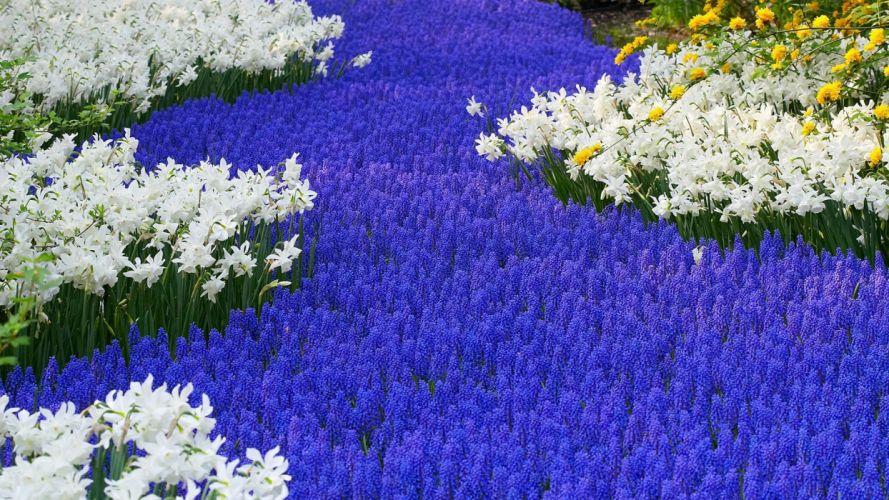 flowers garden Holland daffodils hyacinths wallpaper
