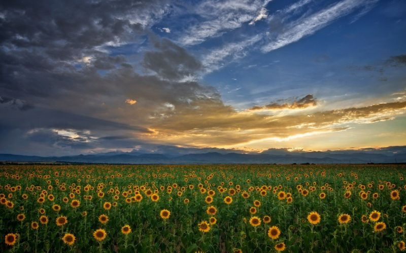 clouds landscapes nature skylines sunflowers wallpaper