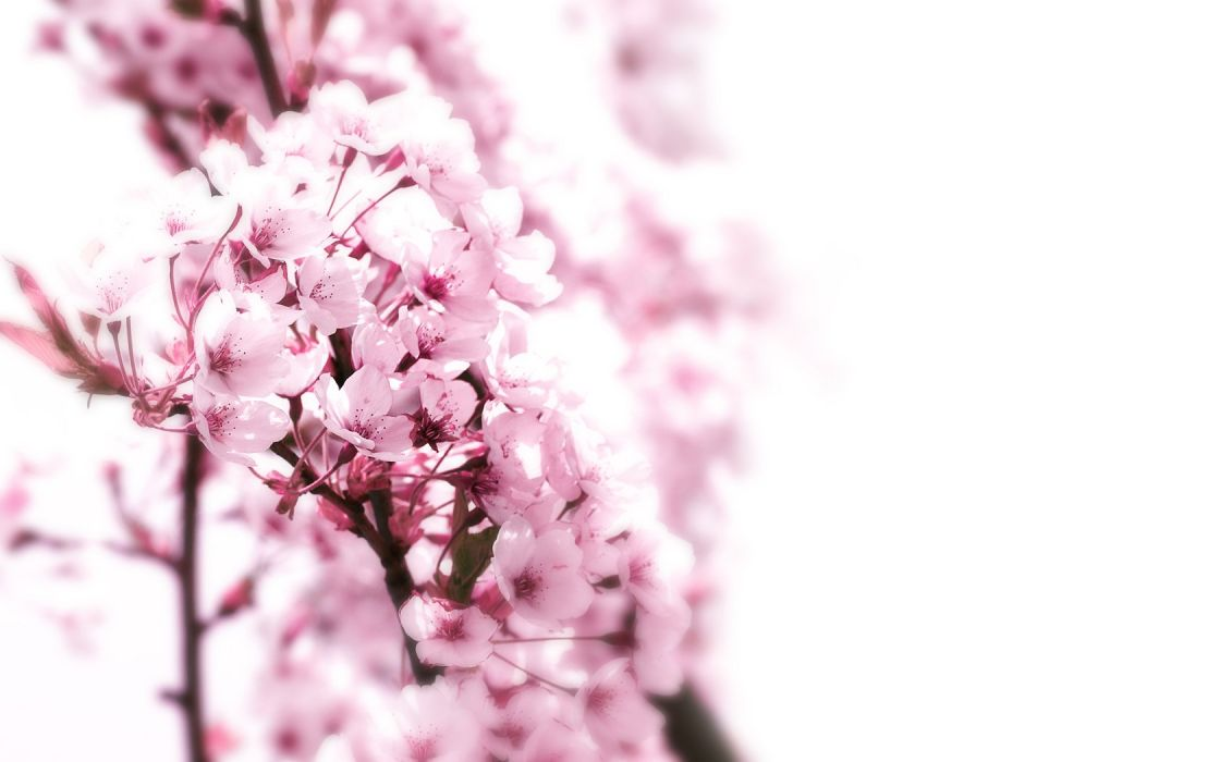 nature cherry blossoms flowers pink wallpaper