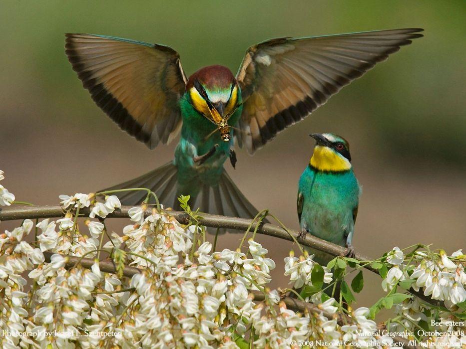 nature birds Bee Eaters wallpaper
