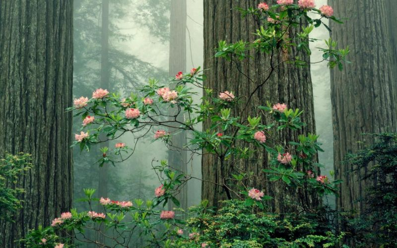 Redwood Sequoia National Park-1680x1050 wallpaper