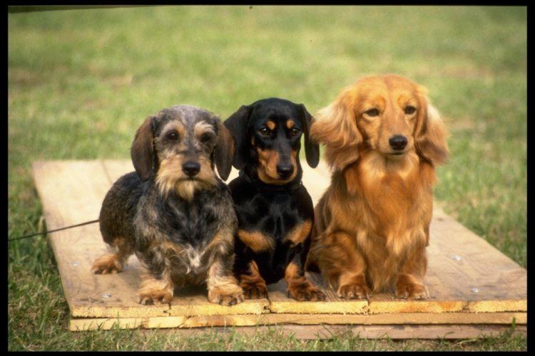 three-varieties-of-dachshund-415019 wallpaper