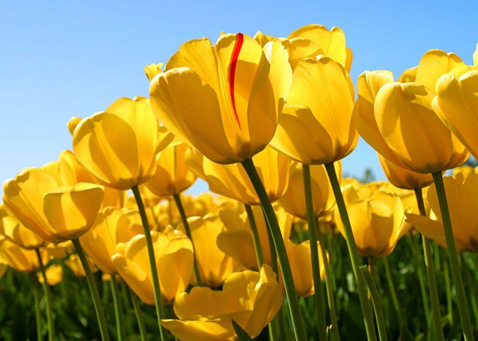 Tulips 1680x1200 wallpaper
