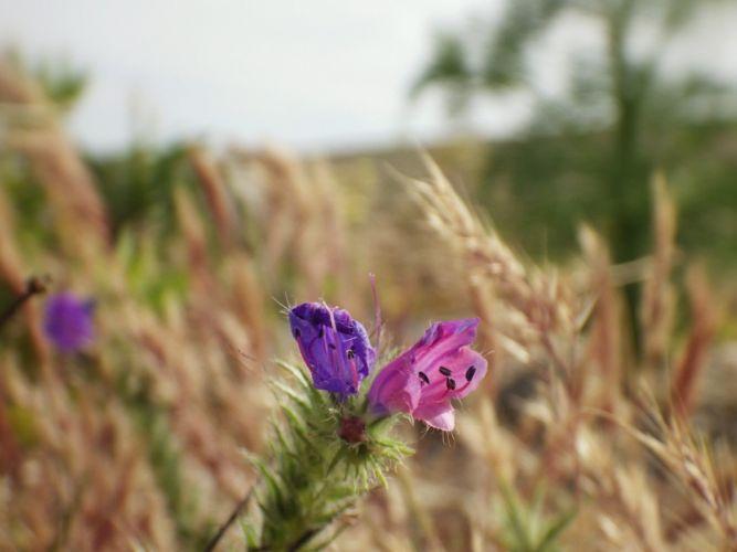 green nature flowers purple fields wheat plants macro French Morocco Pentax maroc wild Tangier tanger ear wallpaper