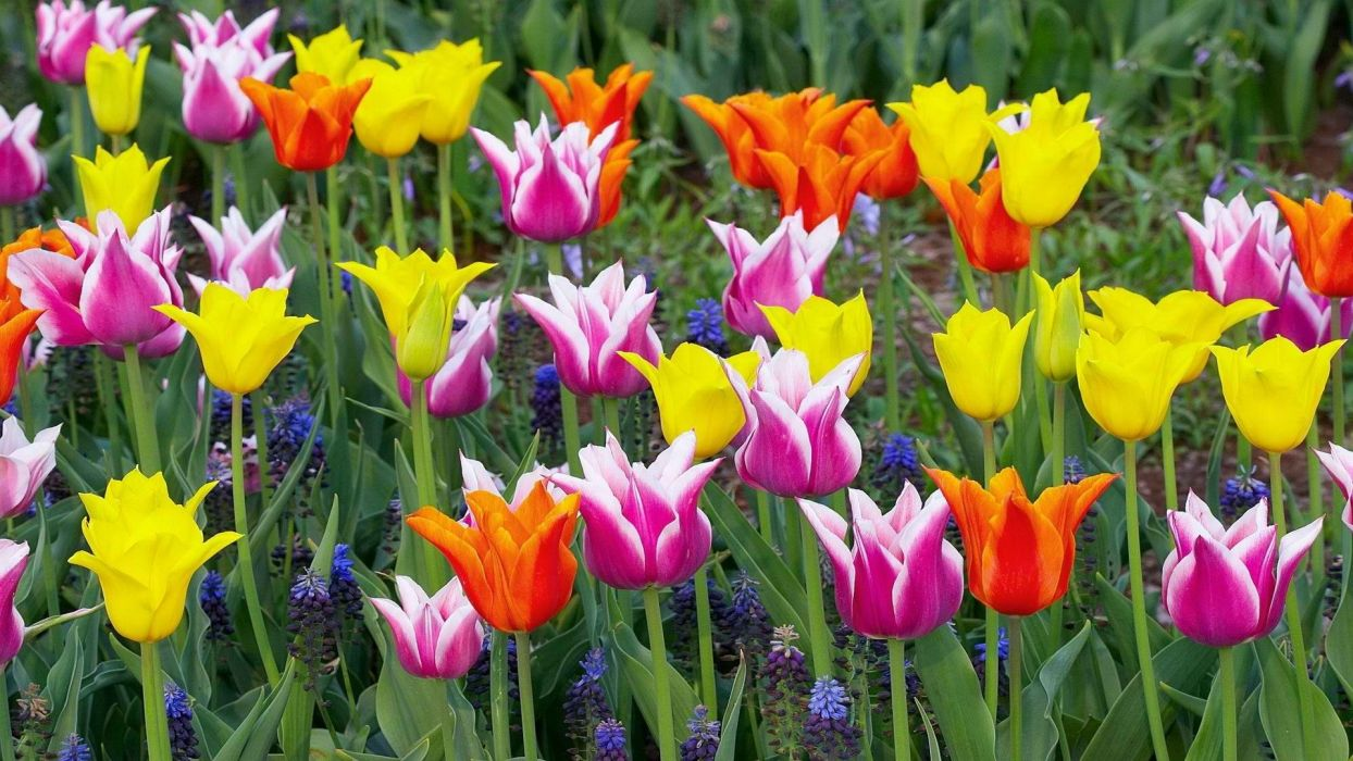 multicolor flowers tulips Holland wallpaper