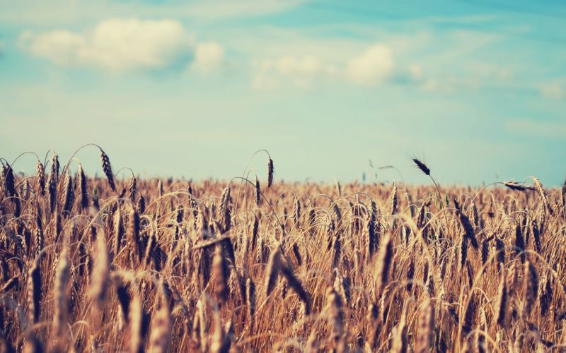 landscapes fields wheat wallpaper