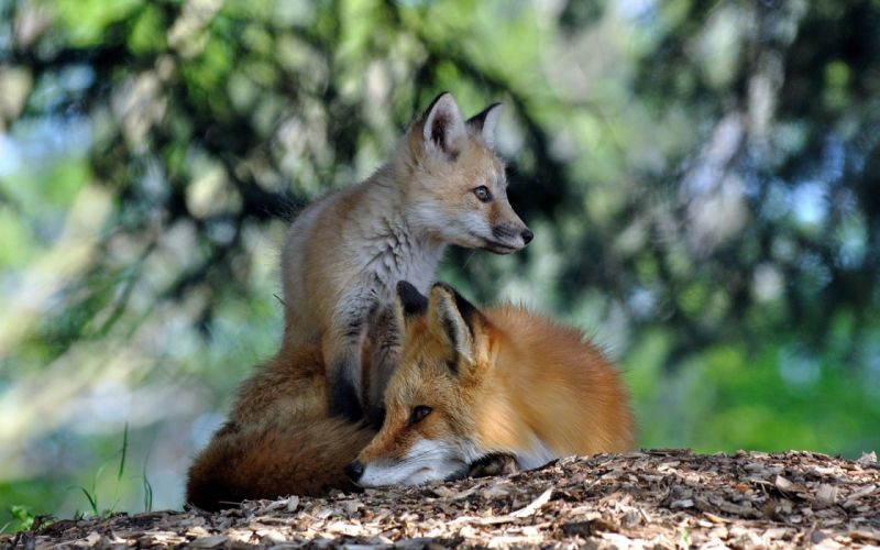 nature animals foxes wallpaper