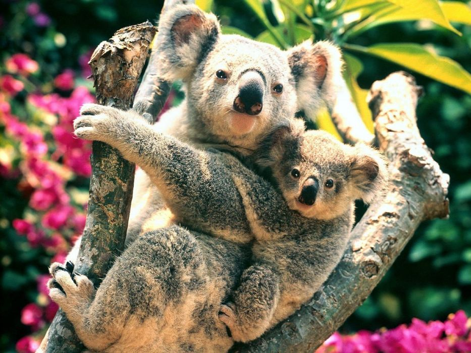 koalas baby animals wallpaper