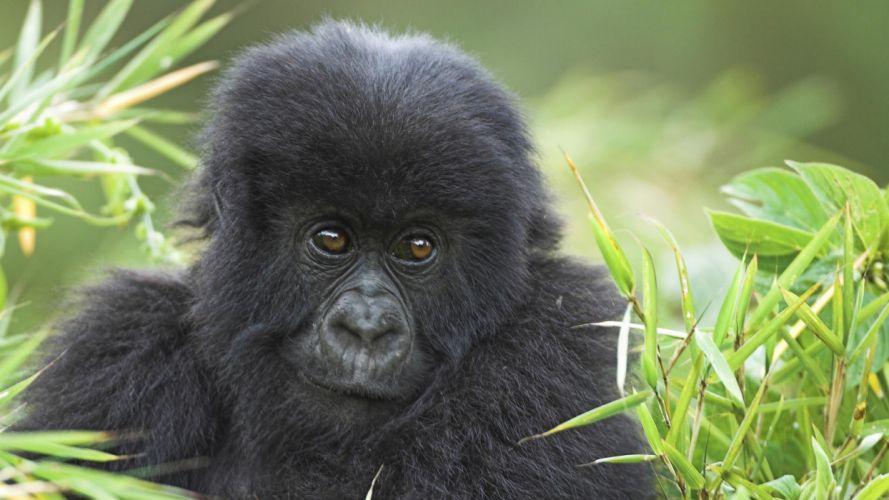 animals wildlife gorillas wallpaper