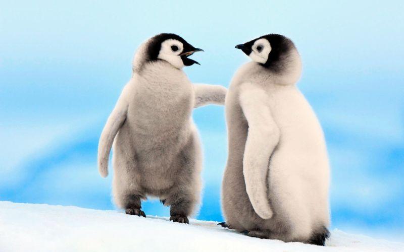 nature birds penguins emperor wallpaper