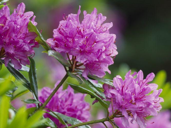 nature flowers Scotland pink flowers wallpaper