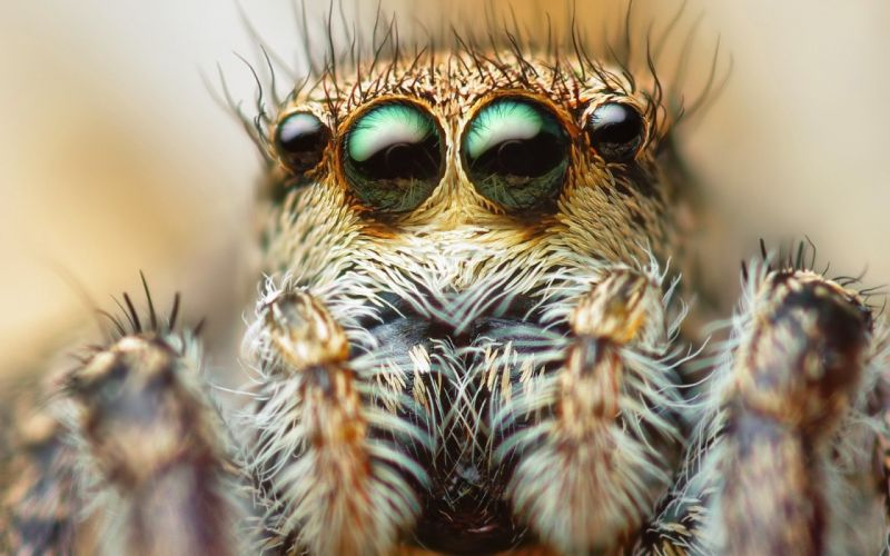 eyes animals insects macro spiders wallpaper