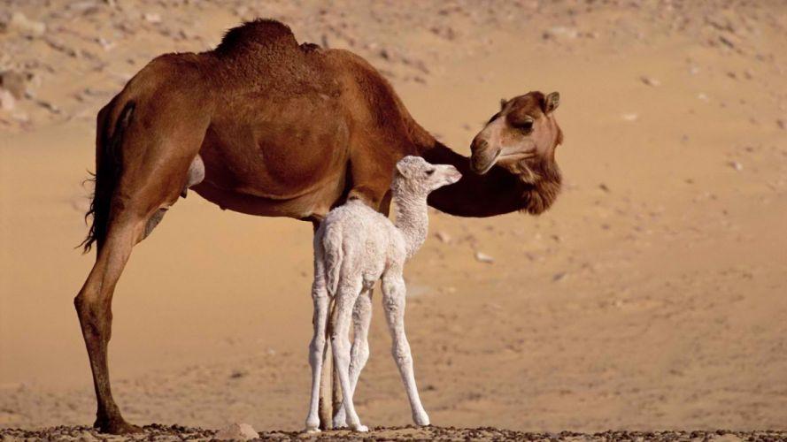 camels wallpaper