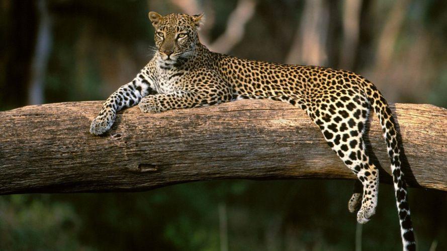 nature animals wildlife Africa leopards wallpaper