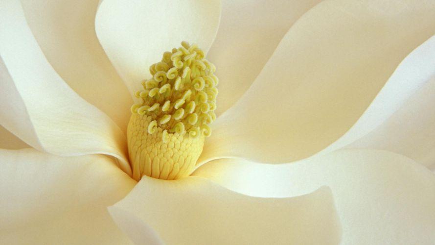 flowers Magnolia white flowers wallpaper