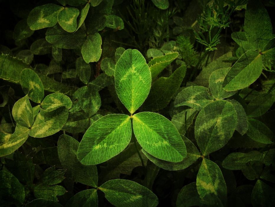 nature leaves Clovers wallpaper
