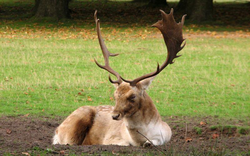 animals antlers wallpaper
