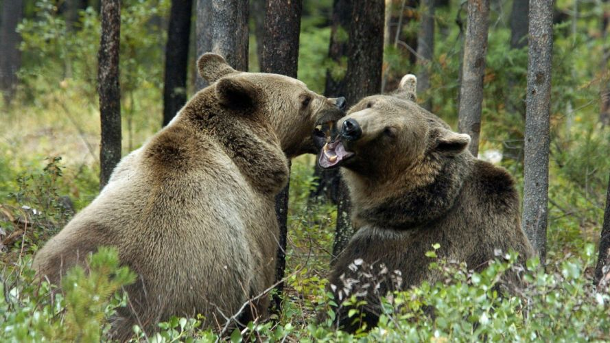 animals grizzly bears bears wallpaper