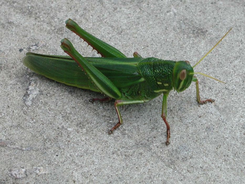 insects grasshopper wallpaper