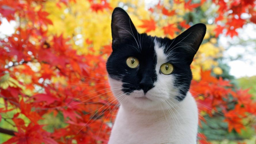 autumn cats animals omar wallpaper