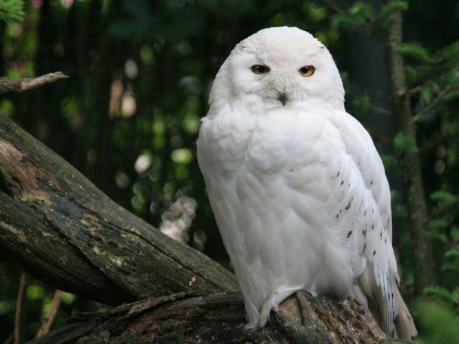 birds owls white owl wallpaper