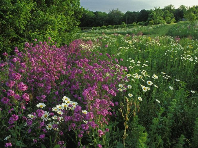nature flowers meadows wallpaper